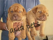 FRENCH MUSTIFF  PUPPS FOR SALE ASIA PETS  @  9911293906