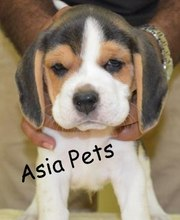 BEAGLE   PUPPS FOR SALE ASIA PETS  @  9911293906