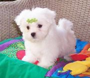 MALTESE  PUPPS FOR SALE ASIA PETS  @  9911293906