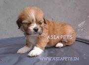 LHASA APSO PUPPS FOR SALE ASIA PETS  @  9911293906 @@