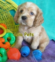 Cocker Spaniel Puppies  For Sale  ® 9911293906