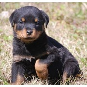 ROTTWEILER PUPPIES FOR SALE.......9990556665
